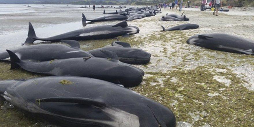 Yeni Zelanda'da yüzlerce balina kıyıya vurdu