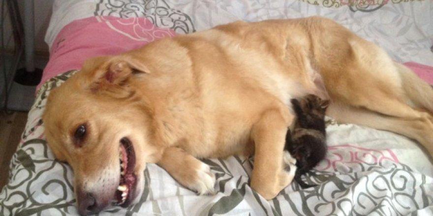 3 Yaşındaki Köpek Yavru Kediye Annelik Yapıyor