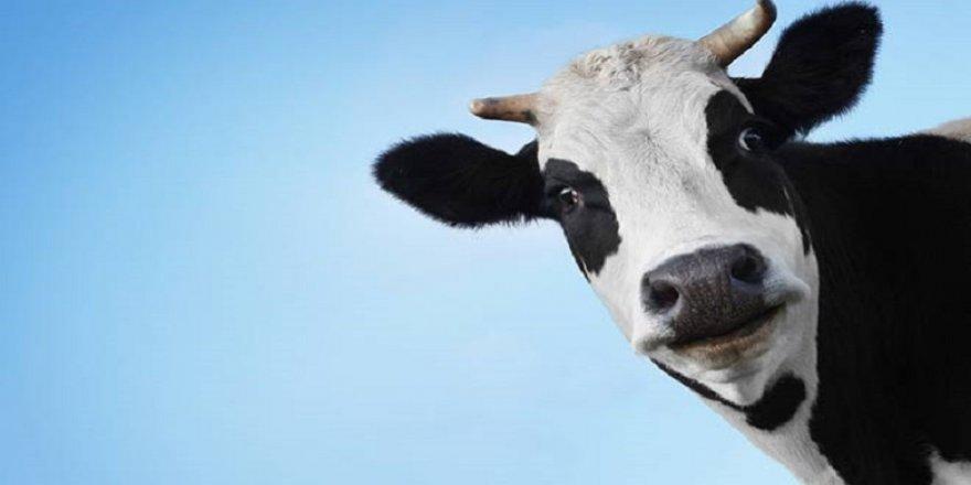 Ülkenin gündemine bak ! İsviçre'de ineklerin boynuzu için referandum yapılıyor