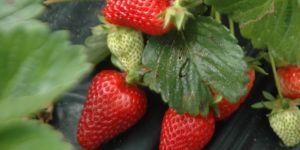Gıda mühendisi; çilekte görülen kurtçukların zararı yok