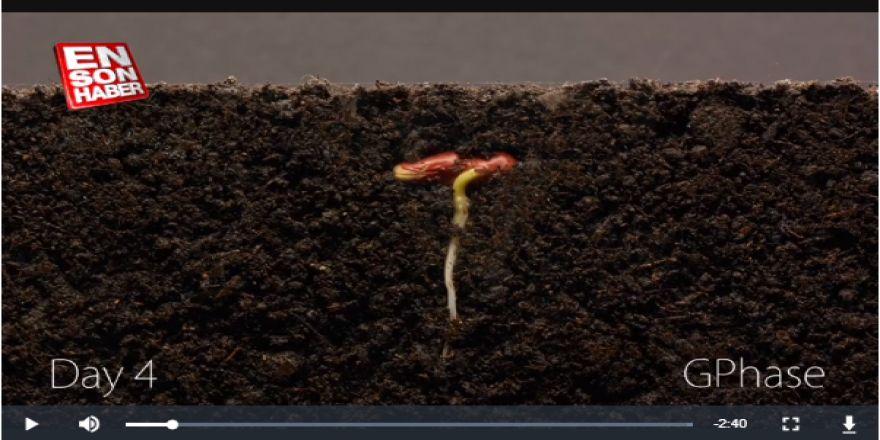 Fasulyenin 25 günlük büyüme süreci, timelapse tekniğiyle görüntülendi.